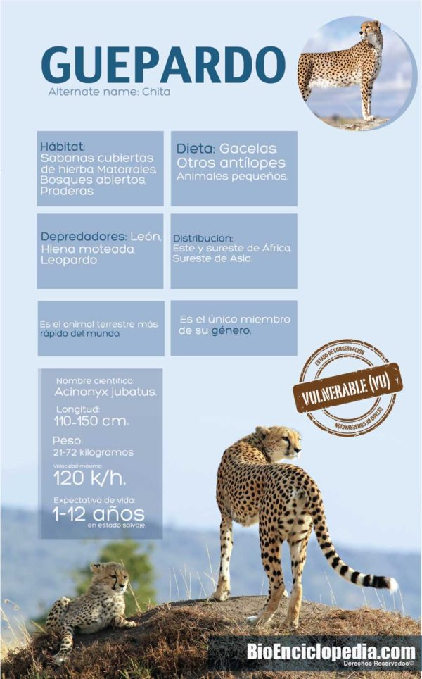 guepardos-ficha-guepardo