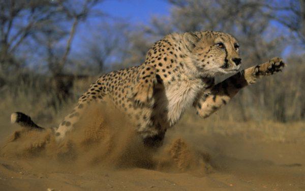 guepardos-salto-caza
