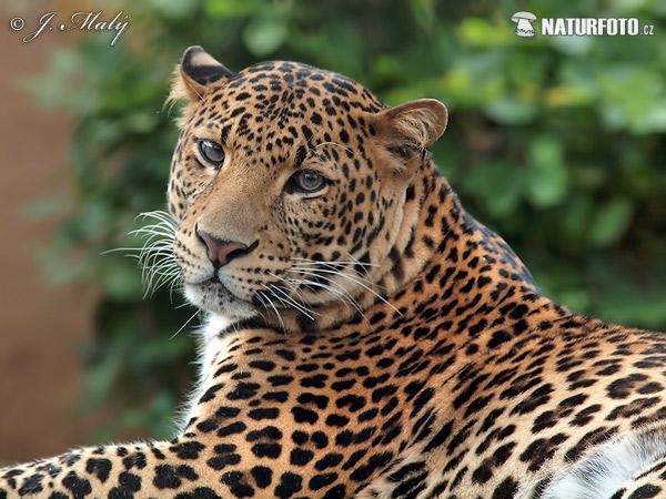 Leopardo de Java