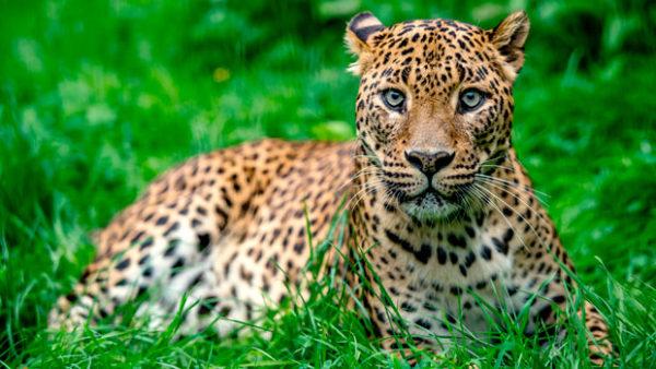 Leopardo de Sri Lanka