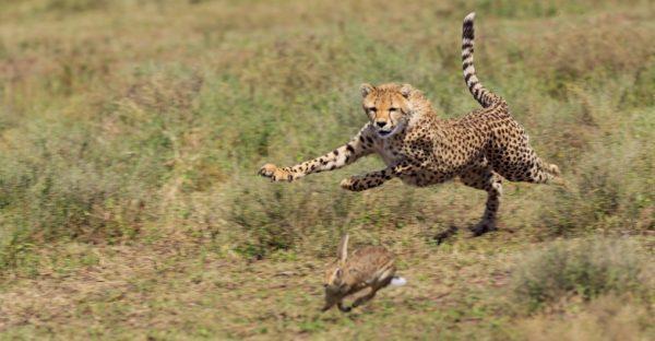 leopardo-caza-guepardo