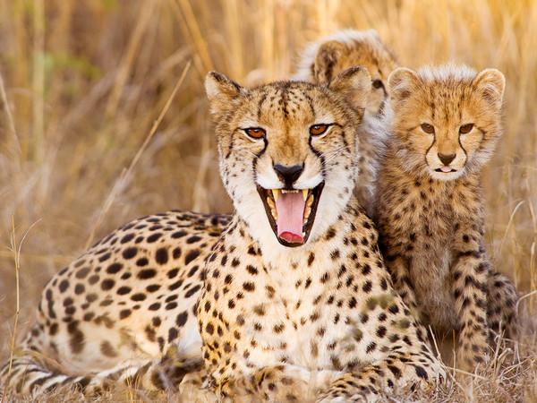 leopardo-familia-guepardo