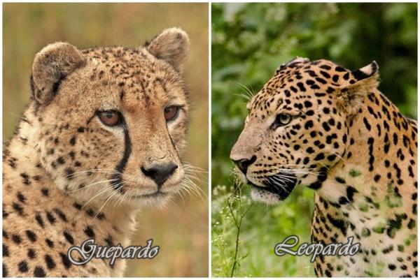 leopardo-guepardo-cabeza