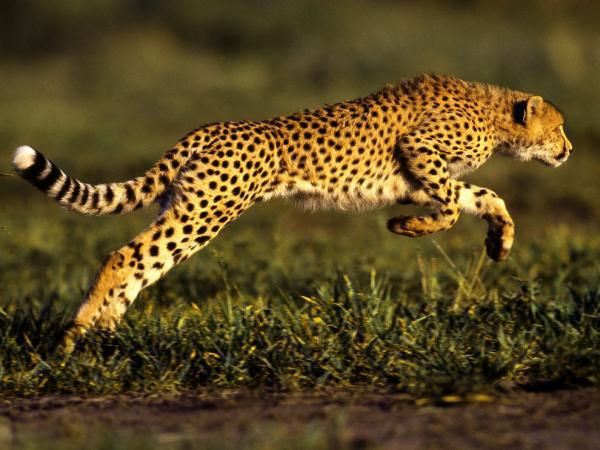 leopardo-guepardo-corriendo