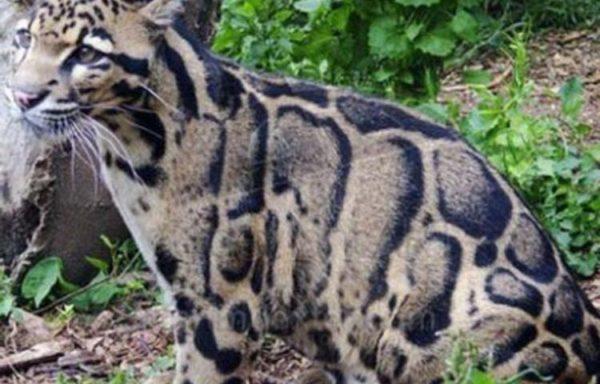 leopardo-nublado