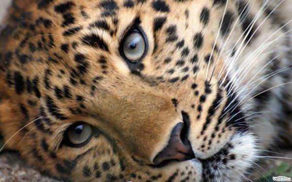 leopardo-portado