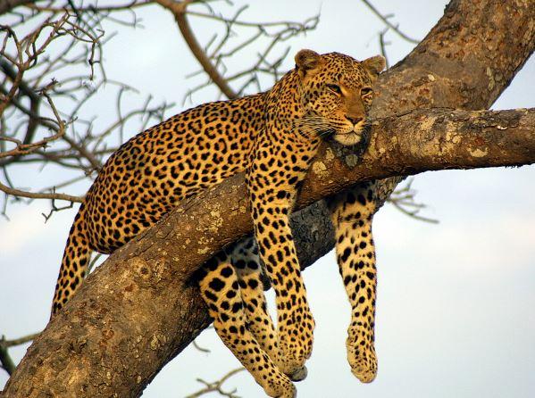 leopardo-trepando-arbol