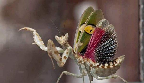 mantis-religiosa-mantis-flor-india-b