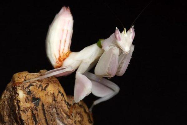 mantis-religiosa-orquidea-b