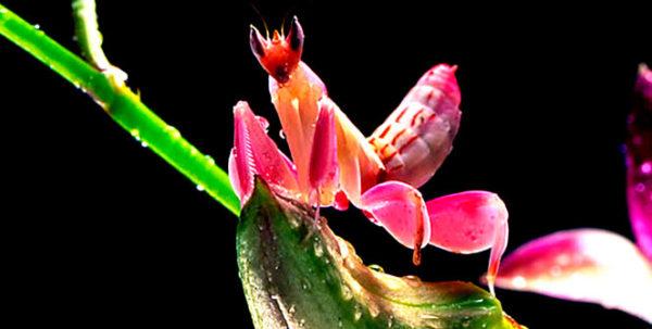 mantis-religiosa-orquidea-c