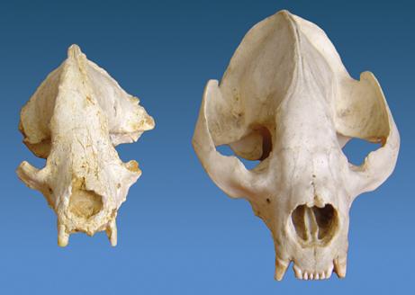 """Un grupo de antropólogos de la Universidad de Iowa anunció ayer el descubrimiento en China del cráneo de un panda de tamaño enano, el antecesor más antiguo conocido de estos animales, según informó la publicación """"Proceedings of the National Academy of Science"""" (PNAS)."""