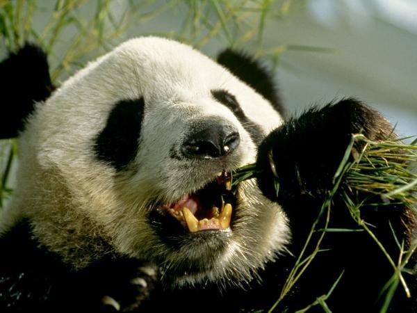 panda-gigante-dientes