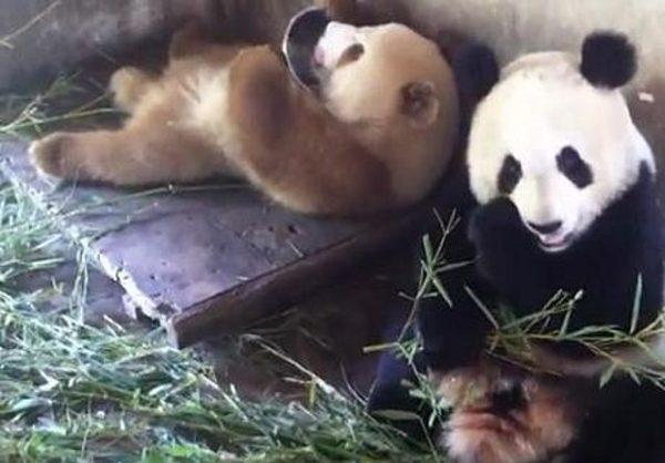 Los dos colores de panda gigante conocidos