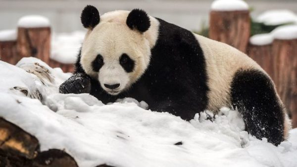 panda-gigante-pelaje
