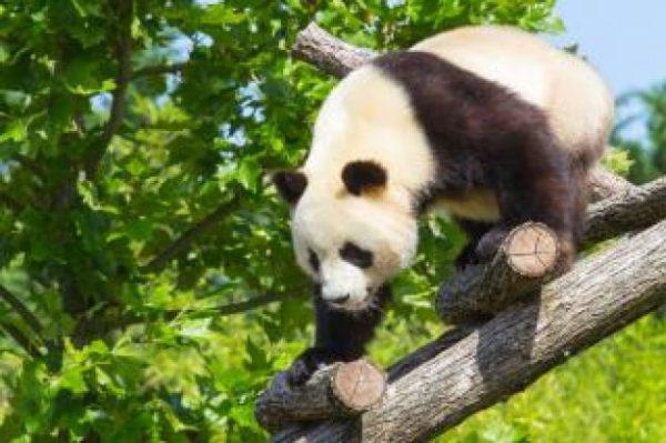 panda-panda-gigante-19