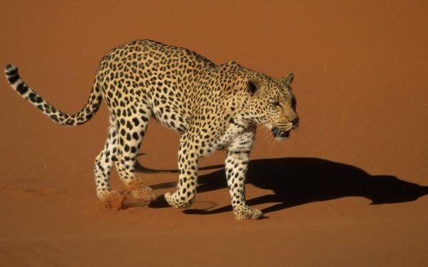 Los colores de los Leopardos varían en función del habitat en el que viven