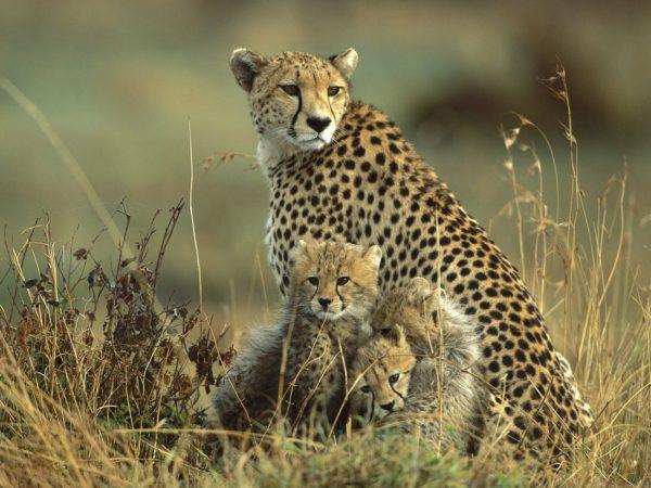 leopardo-familia-leopardo