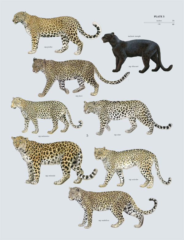 leopardo-felis