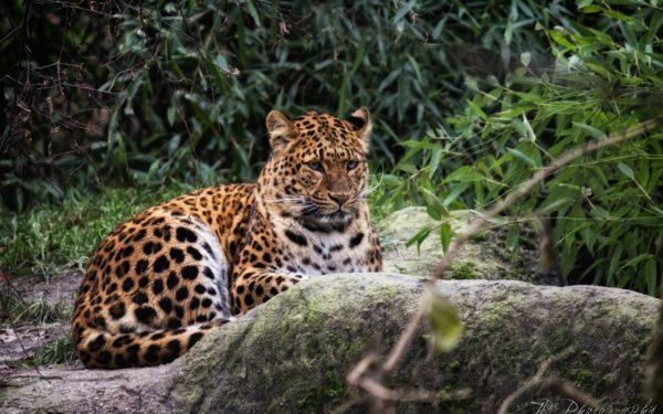 leopardo-selva