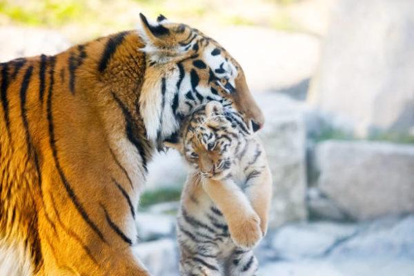 Mejores fotos de tigre Tigre hembra con su cachorro