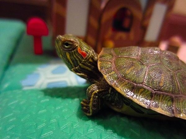 cuidados-de-las-tortugas-dejar-las-tortugas-sueltas