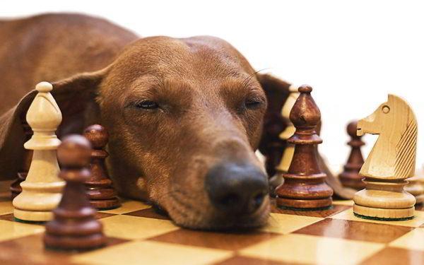 cual-es-el-mejor-juguete-para-mi-perro-ajedrez