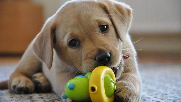 cual-es-el-mejor-juguete-para-mi-perro-juego-cachorro-dientes