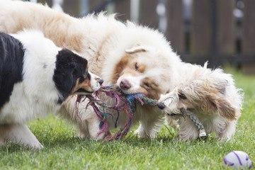 cual-es-el-mejor-juguete-para-mi-perro-juego-cuerda-juego-3