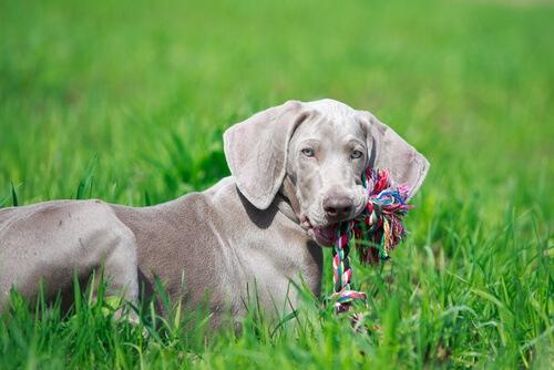 cual-es-el-mejor-juguete-para-mi-perro-juego-cuerda-juego