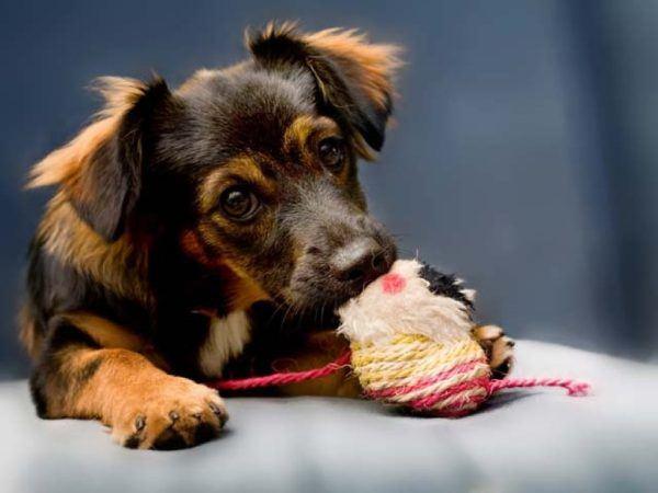 cual-es-el-mejor-juguete-para-mi-perro-mordedor-2