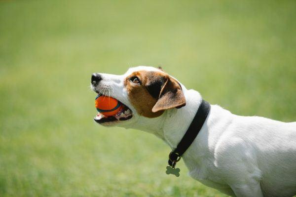 ¿Cuál es el mejor juguete para mi perro? Pelota
