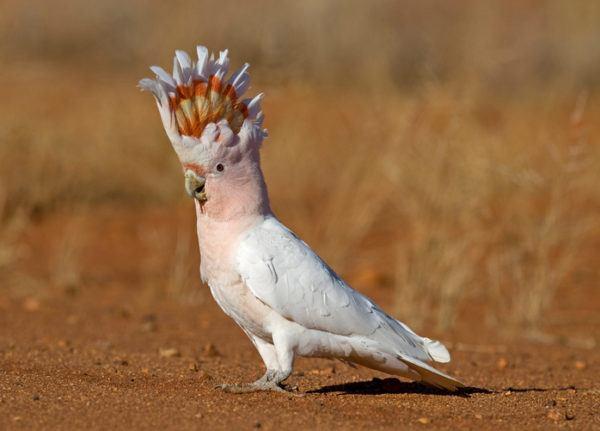 Pajaros aves exoticas cacatua
