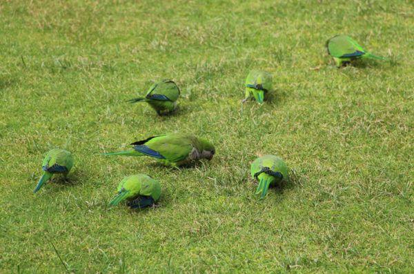 Pajaros aves exoticas cotorra