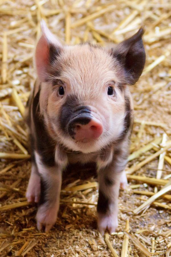 Cerdo Vietnamita: Características y cuidados - AnimalesMascotas
