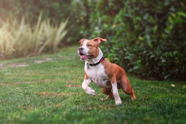 Perros grandes American Staffordshire Terrier