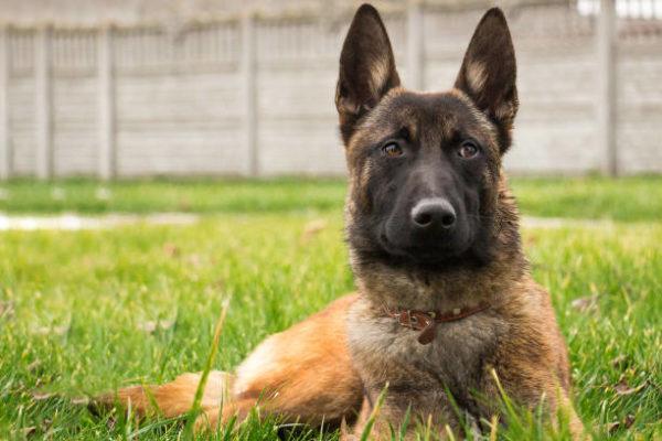 Perros grandes Perro pastor belga