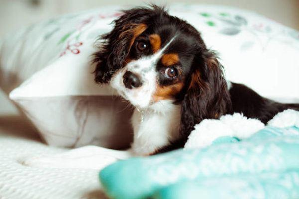 Razas de perro pequeño Cavalier King Charles Spaniel