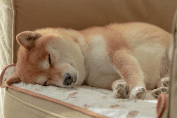 Razas de perro pequeño Shiba inu