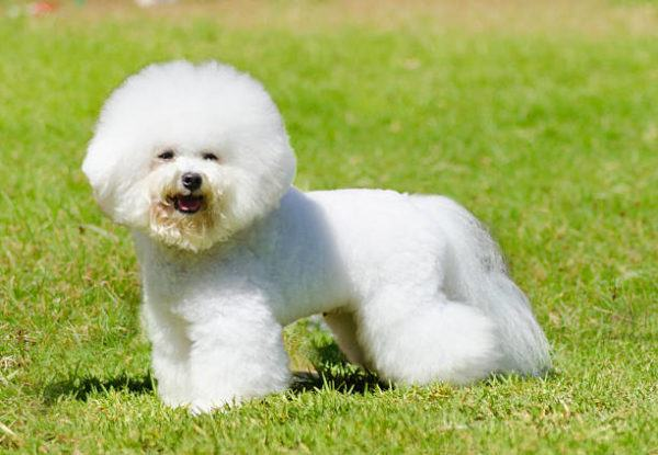 Razas de perro pequeño bichon frise