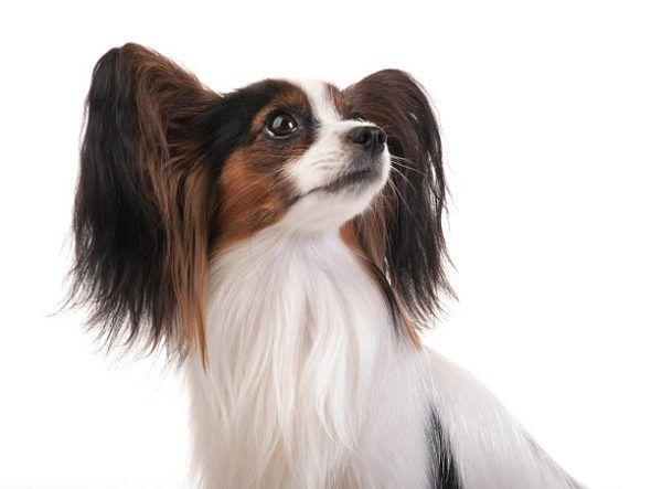 Razas de perro pequeño spaniel enano