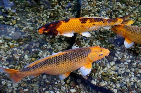 peces-agua-fria-koi-naranja-moteado