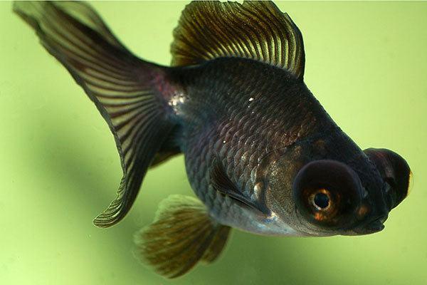 peces-agua-fria-pez-telescopio-negro