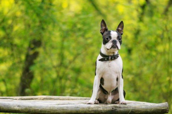 Perros medianos boston terrier detalle