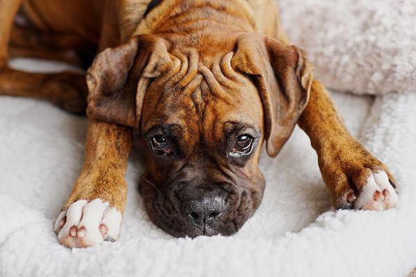 Perros medianos boxer detalle