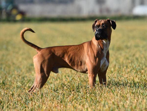 Perros medianos boxer
