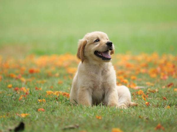 Perros medianos golden retriever cachorro