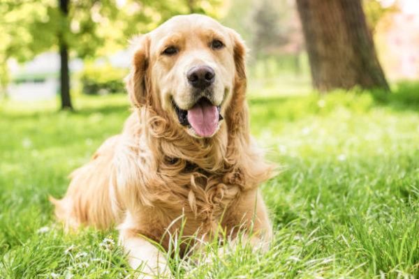 Perros medianos golden retriever