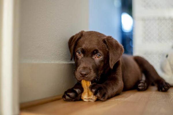 Perros medianos labrador retriever cachorro
