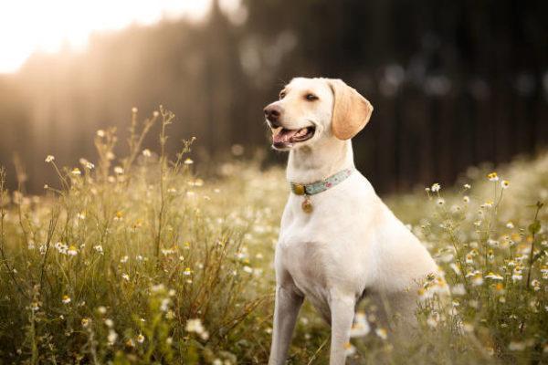 Perros medianos labrador retriever