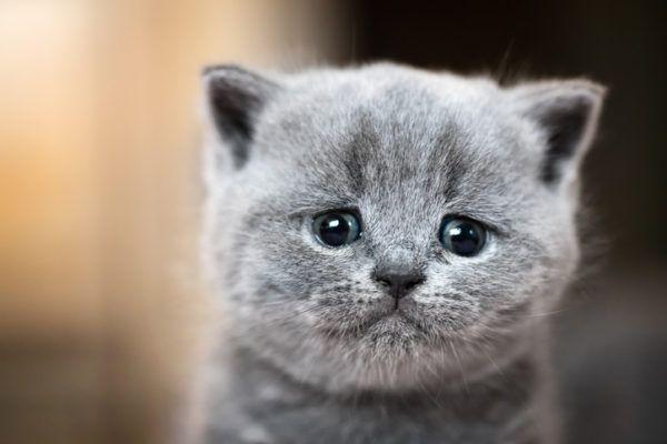 Beneficios de tener un gato gatito
